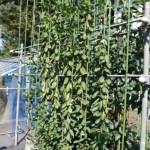【ジョイント苗の生育状況】斜立仕立て苗・慣行ジョイント苗・ブドウ苗の様子 8