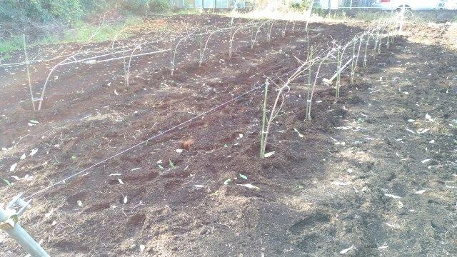 【桃のJV苗を定植するときのポイント】斜立育苗した苗だと植えやすい 69