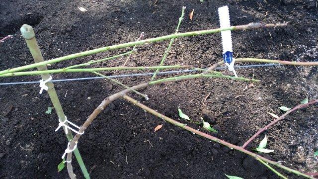 【桃のJV苗を定植するときのポイント】斜立育苗した苗だと植えやすい 74