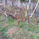 【JV仕立ての桃の剪定を比較】立ち木に比べて剪定速度が圧倒的に早い 13