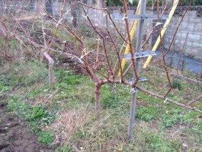 【JV仕立ての桃の剪定を比較】立ち木に比べて剪定速度が圧倒的に早い 64