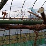 【ブドウのH型短梢樹形】支柱を組み合わせて簡単に作れる道具を紹介 97
