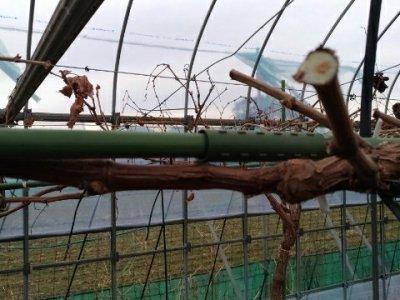 【ブドウのH型短梢樹形】支柱を組み合わせて簡単に作れる道具を紹介 14