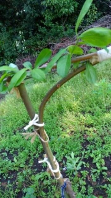 【桃のジョイントの接ぎ木方法を解説】使った道具とポイントを解説 44