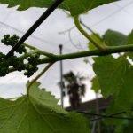 【ブドウの捻枝】新梢を棚に誘引して摘粒作業の効率UPさせる 29
