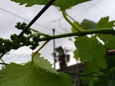 【ブドウの捻枝】新梢を棚に誘引して摘粒作業の効率UPさせる 48