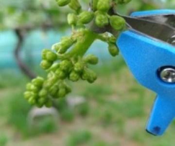 【サボテン ぶどう花穂整形器の使用レビュー】房作りを省力化する道具で効率化 2