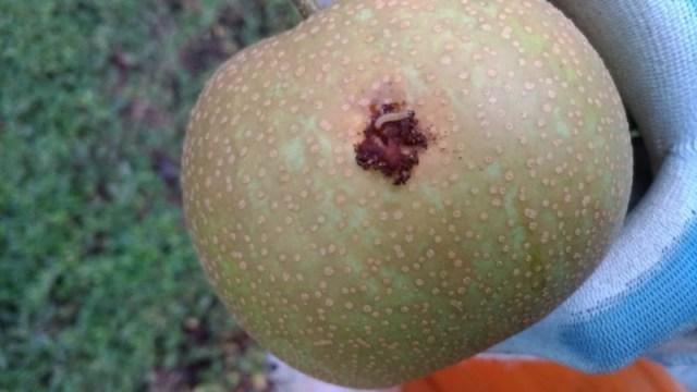 【梨の本摘果のやり方】果実の残し方とその理由を画像で解説 32