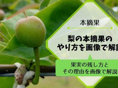 梨の本摘果のやり方・方法を画像で解説『果実の残し方とその理由』