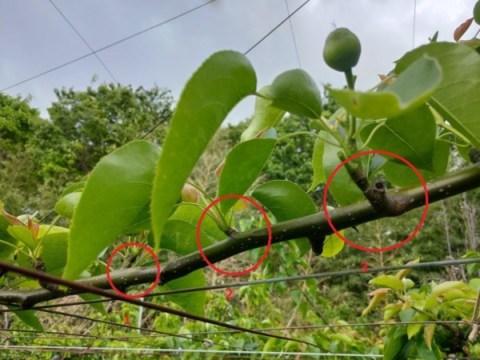 【梨の本摘果のやり方】果実の残し方とその理由を画像で解説 93