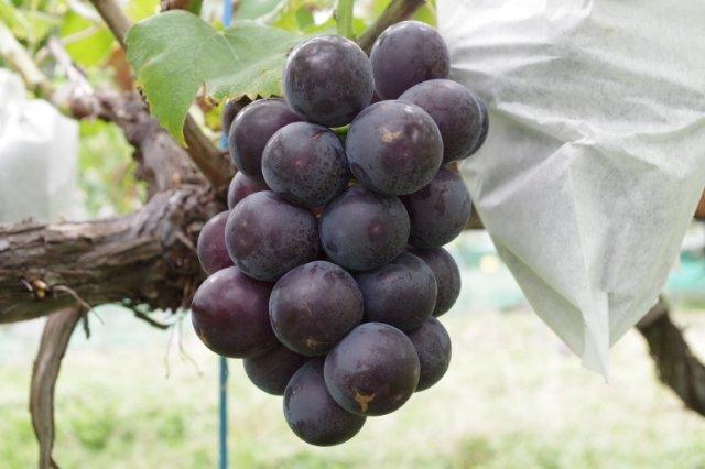 【ブドウの環状剥皮】環状剥皮後の果実と主幹の状態 21