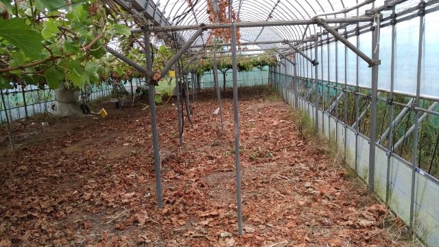 【改植】ブドウの木の入れ替えで生産量UPを目指す 60