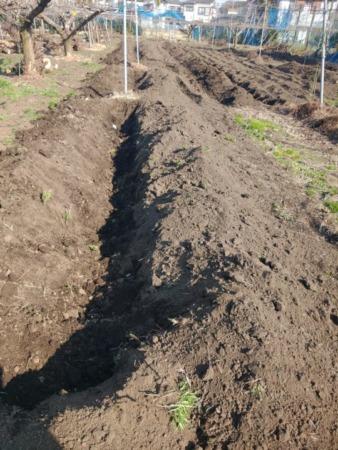 苗の穴掘り