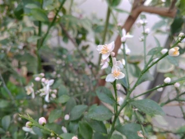 【病害虫対策】フィンガーライムの開花期以降のハダニ対策 45