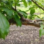 ジョイント栽培 違う品種