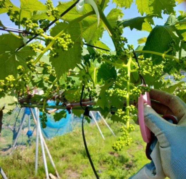 【ブドウの房切り動画】種なしブドウの房作りの方法を動画で解説 43