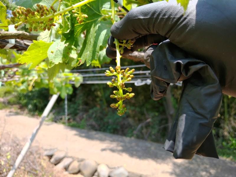 【まとめ】種なしブドウの作り方を画像で解説【ジベレリン処理・房作り・摘粒の時期と方法】 637