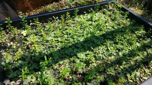 【フィンガーライムの実生の育て方②】育苗1年目の10月以降の灌水・温度管理について 53