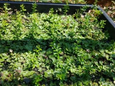 【フィンガーライムの実生の育て方①】種の採取から種まきの時期とその後の栽培管理 5