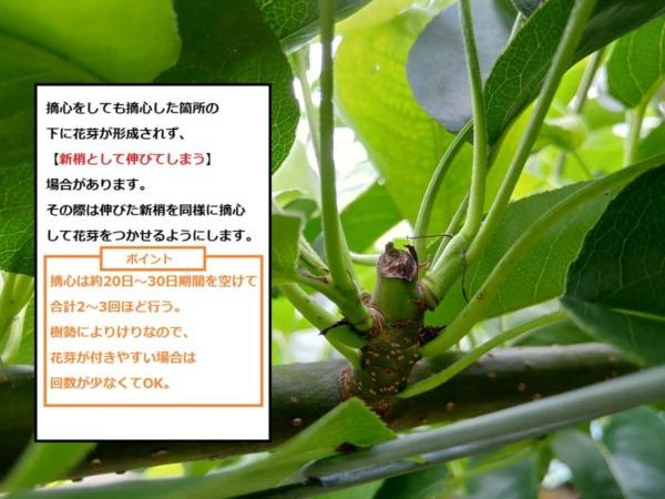 【梨の摘心の時期と方法を画像で解説】摘心は花芽をつける大事な作業 106