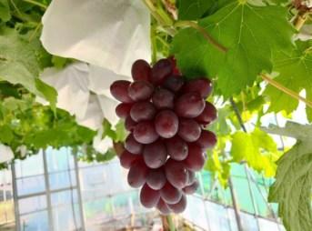 ブドウの着色不良の対処方法 188