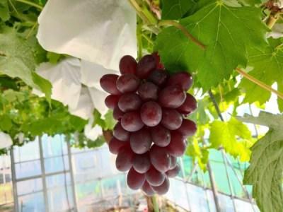 ブドウの着色不良の対処方法 2