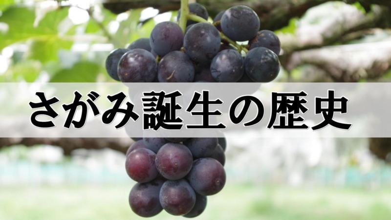 さがみ(早生巨峰)誕生の歴史 3