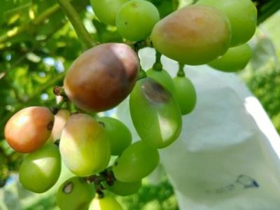 【ブドウの袋かけ】袋かけをする理由・時期・品種ごとの袋の種類を解説 380