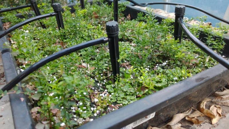 【フィンガーライムの実生の育て方②】育苗1年目の10月以降の灌水・温度管理について 137