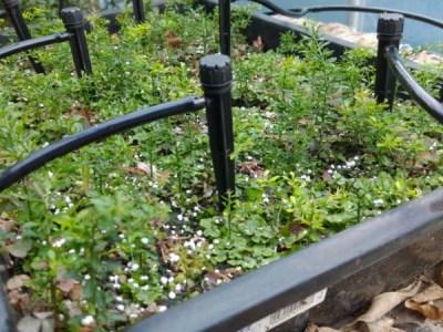【フィンガーライムの実生の育て方②】育苗1年目の10月以降の灌水・温度管理について 97