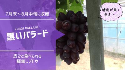 黒いバラード【皮ごと食べられる種無しブドウ】 68