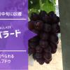 黒いバラード【皮ごと食べられる種無しブドウ】 48