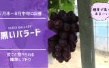 黒いバラード【皮ごと食べられる種無しブドウ】 78