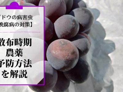ブドウの晩腐病対策【散布時期や農薬・予防方法を解説】 36