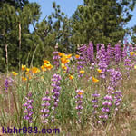 Spring lupine and poppy flowers in Fawnskin