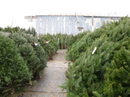 Simmons Christmas Trees