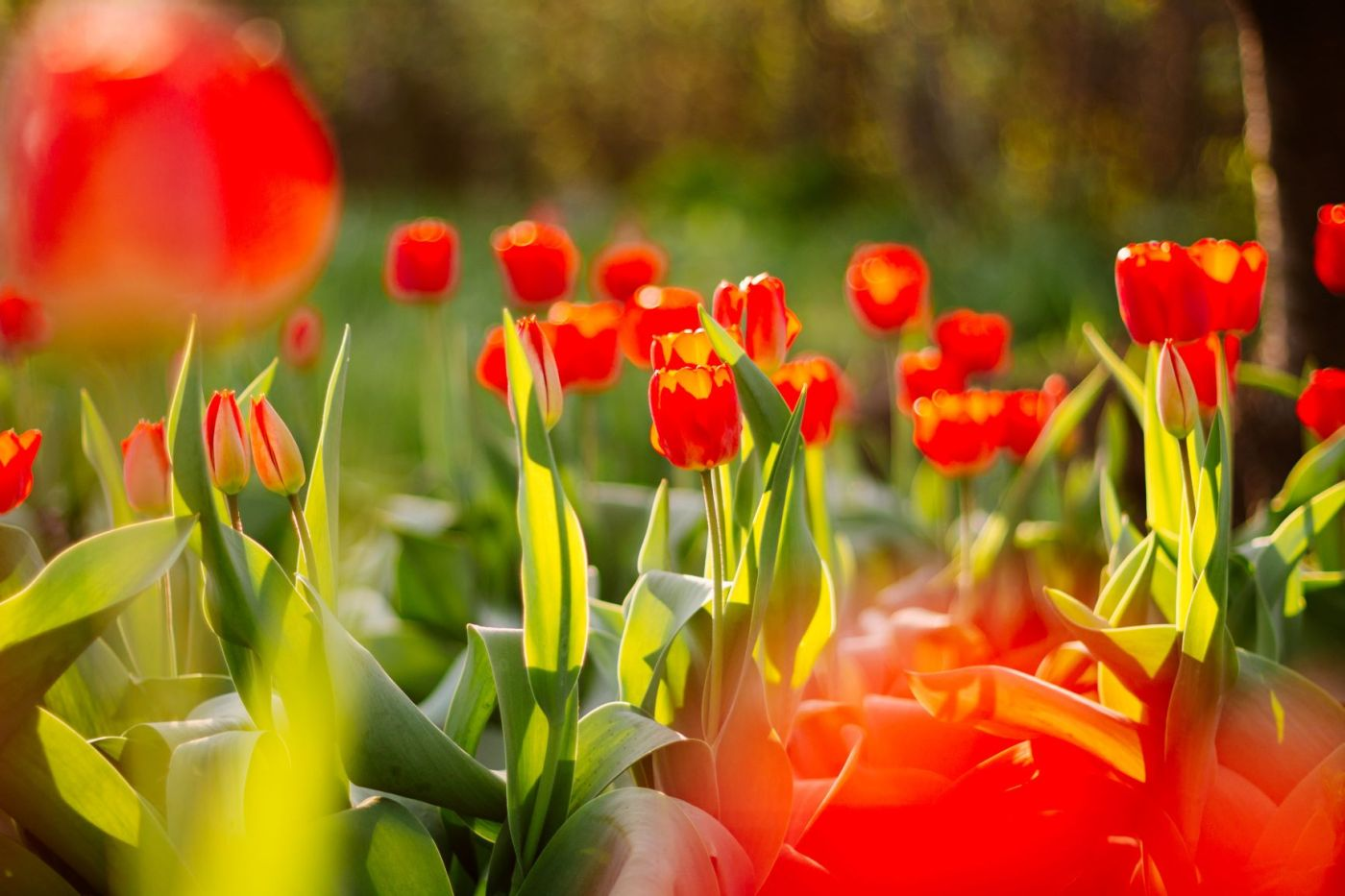 red tulips with sunlight coming through leaves