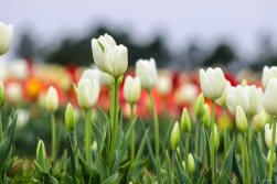 kch_tulips08