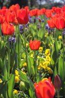 kch_tulips10