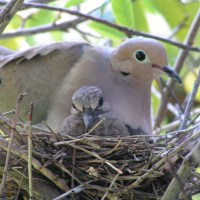 Morning Doves Nesting