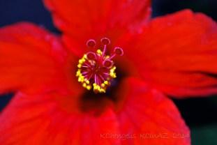 Hibiscus2