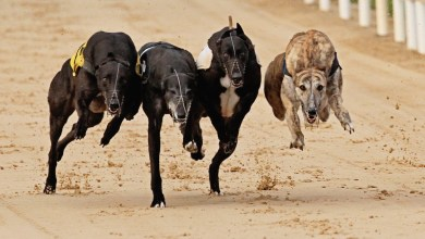 Greyhounds in racing action. Photo: RedMills.ie