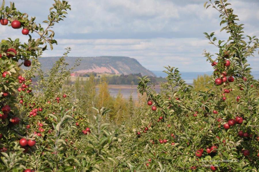 apples-and-cape-blomidon-photo-by-d-killam