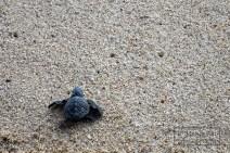 An Olive Ridley sea turtle, Las Tunas, Mexico