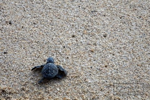 An Olive Ridley sea turtle, Las Tunas, Mexico