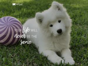 Wild Spirit Samoyeds website