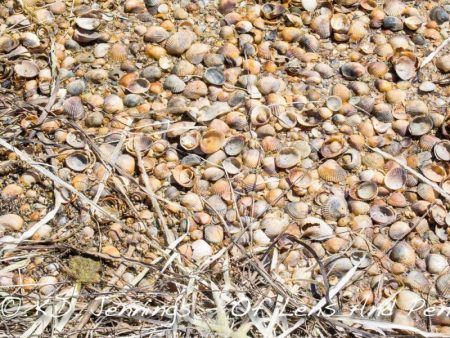 Bages Lagoon Seashells Aude South of France