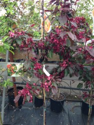 Red Crabapple - Maybe for the front garden