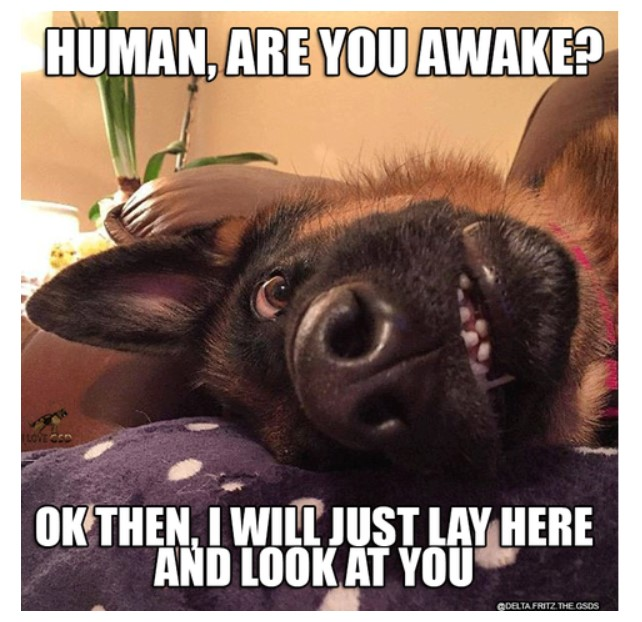 German Shepherd meme.