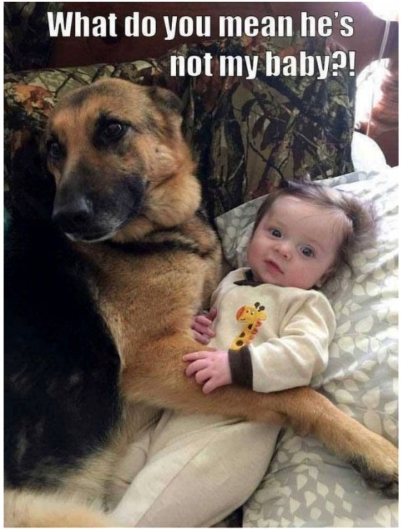 "German Shepherd meme's like make you say, ""Awwwww...."""